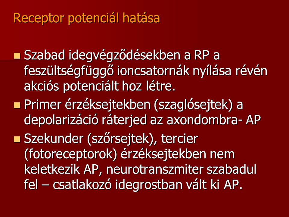 Receptor potenciál hatása  Szabad idegvégződésekben a RP a feszültségfüggő ioncsatornák nyílása révén akciós potenciált hoz létre.  Primer érzéksejt