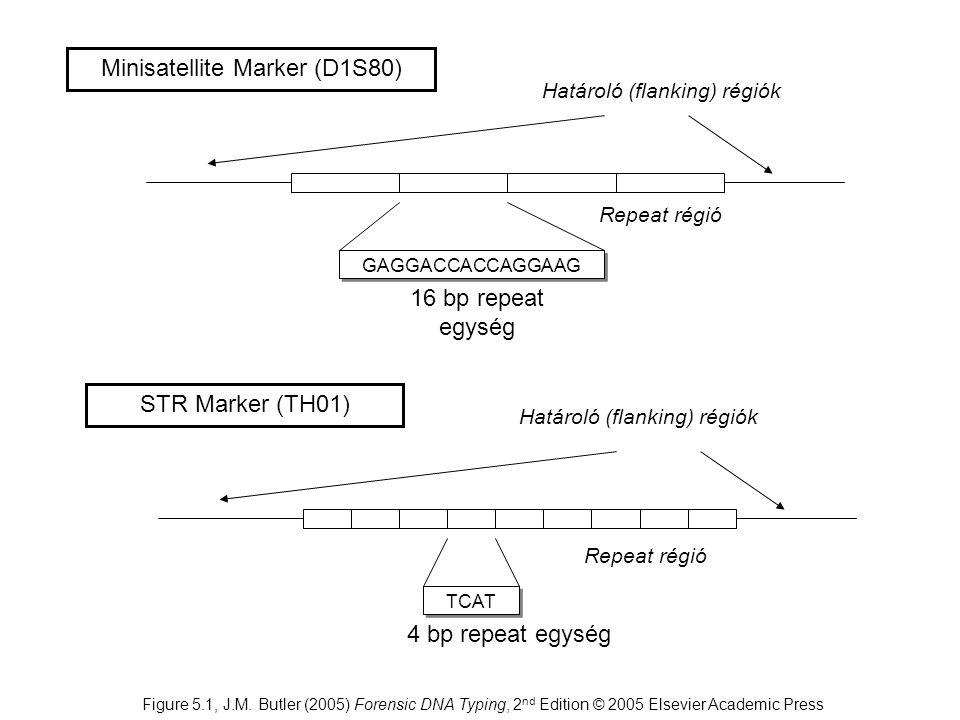 Minisatellite Marker (D1S80) GAGGACCACCAGGAAG Repeat régió Határoló (flanking) régiók 16 bp repeat egység STR Marker (TH01) TCAT Repeat régió 4 bp rep