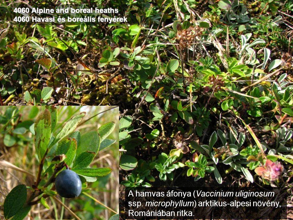 4060 Alpine and boreal heaths 4060 Havasi és boreális fenyérek A hamvas áfonya (Vaccinium uliginosum ssp. microphyllum) arktikus-alpesi növény, Románi