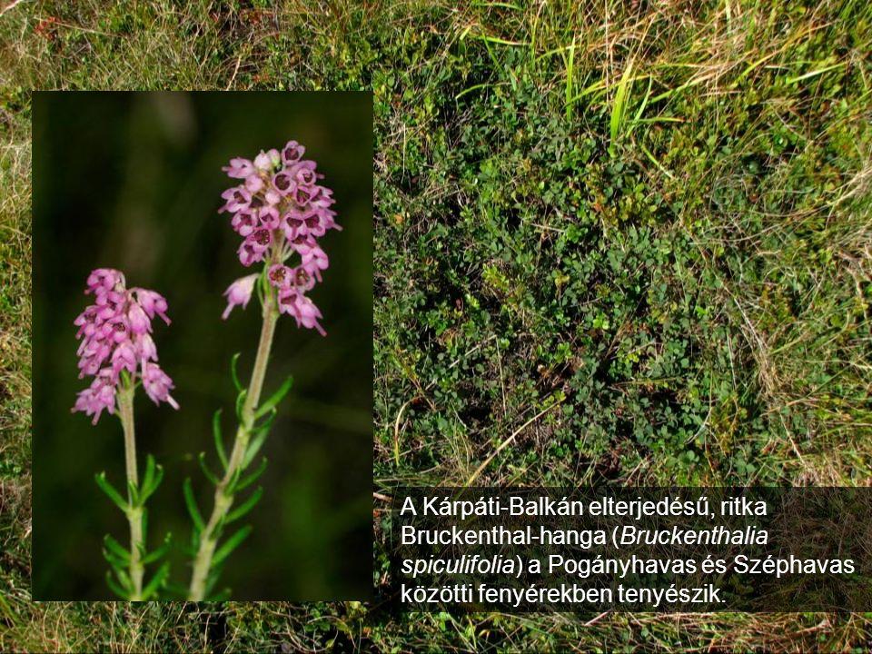 A Kárpáti-Balkán elterjedésű, ritka Bruckenthal-hanga (Bruckenthalia spiculifolia) a Pogányhavas és Széphavas közötti fenyérekben tenyészik.
