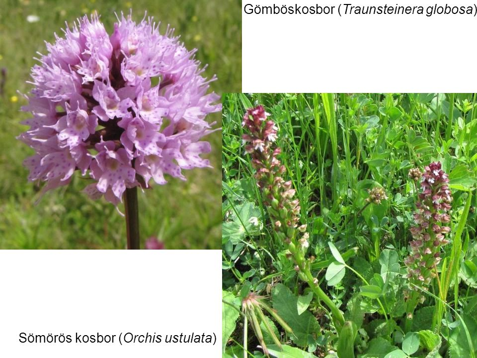 Gömböskosbor (Traunsteinera globosa) Sömörös kosbor (Orchis ustulata)