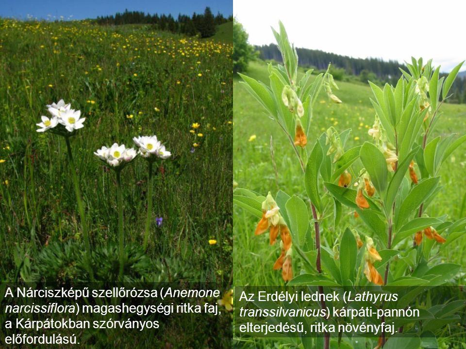 A Nárciszképű szellőrózsa (Anemone narcissiflora) magashegységi ritka faj, a Kárpátokban szórványos előfordulású. Az Erdélyi lednek (Lathyrus transsil