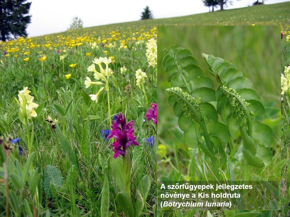 A szőrfűgyepek jellegzetes növénye a Kis holdruta (Botrychium lunaria)