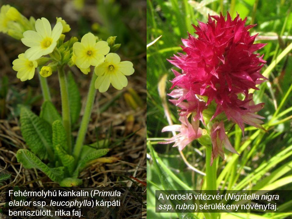 Fehérmolyhú kankalin (Primula elatior ssp. leucophylla) kárpáti bennszülött, ritka faj. A vöröslő vitézvér (Nigritella nigra ssp. rubra) sérülékeny nö