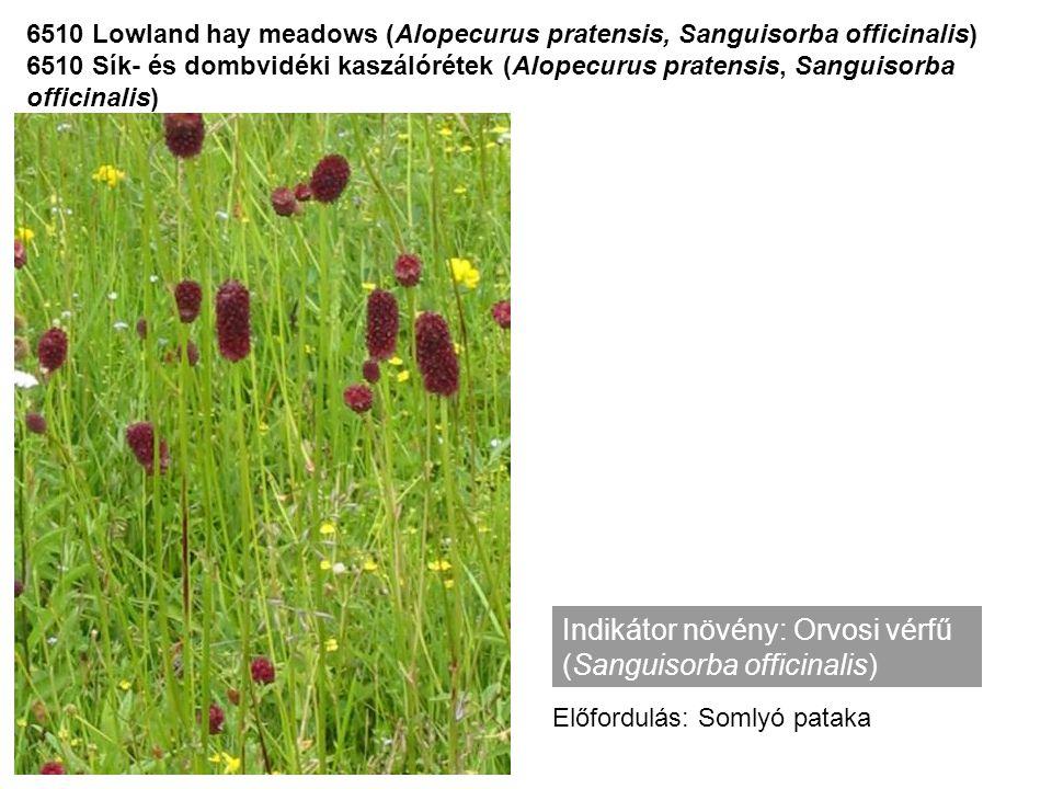 6510 Lowland hay meadows (Alopecurus pratensis, Sanguisorba officinalis) 6510 Sík- és dombvidéki kaszálórétek (Alopecurus pratensis, Sanguisorba offic
