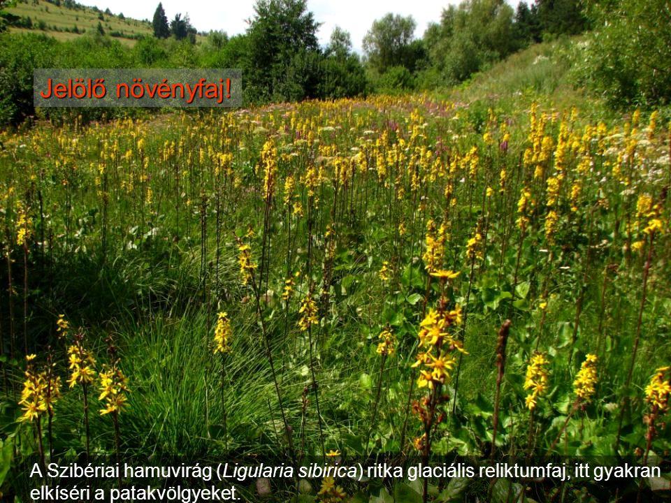 A Szibériai hamuvirág (Ligularia sibirica) ritka glaciális reliktumfaj, itt gyakran elkíséri a patakvölgyeket. Jelölő növényfaj!