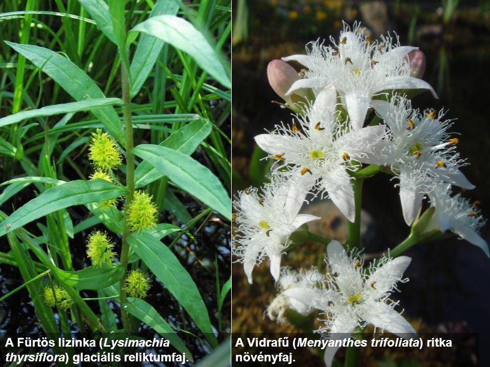 A Fürtös lizinka (Lysimachia thyrsiflora) glaciális reliktumfaj. A Vidrafű (Menyanthes trifoliata) ritka növényfaj.