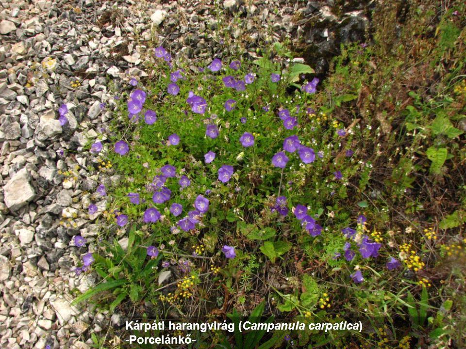 Kárpáti harangvirág (Campanula carpatica) -Porcelánkő-