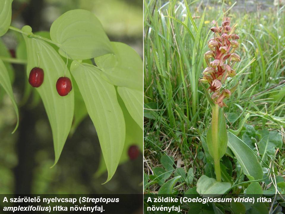 A szárölelő nyelvcsap (Streptopus amplexifolius) ritka növényfaj. A zöldike (Coeloglossum viride) ritka növényfaj.