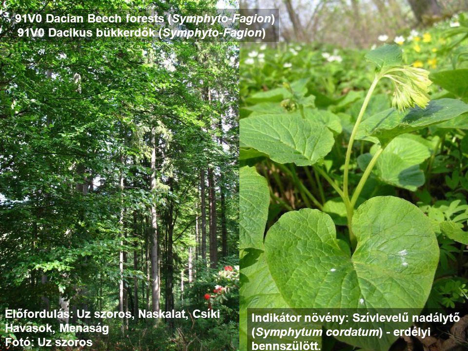 91V0 Dacian Beech forests (Symphyto-Fagion) 91V0 Dacikus bükkerdők (Symphyto-Fagion) Előfordulás: Uz szoros, Naskalat, Csíki Havasok, Menaság Fotó: Uz