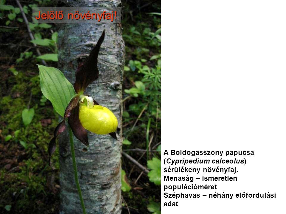 Jelölő növényfaj! A Boldogasszony papucsa (Cypripedium calceolus) sérülékeny növényfaj. Menaság – ismeretlen populációméret Széphavas – néhány előford