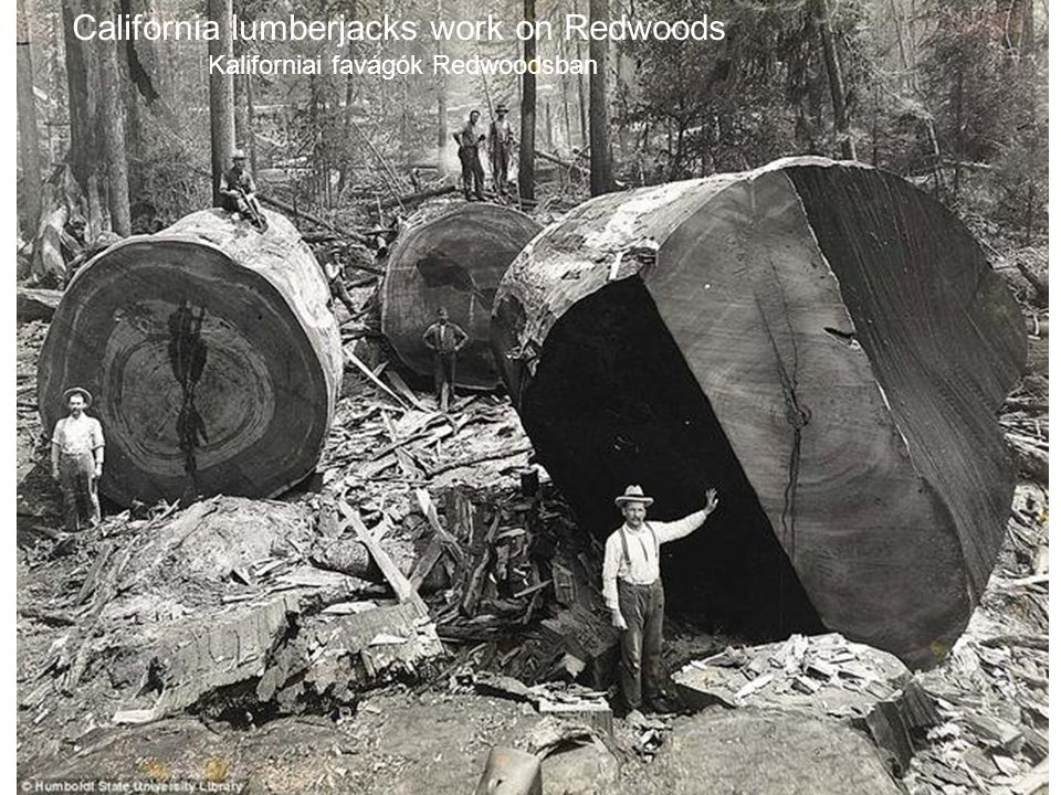 California lumberjacks work on Redwoods. Kaliforniai favágók Redwoodsban