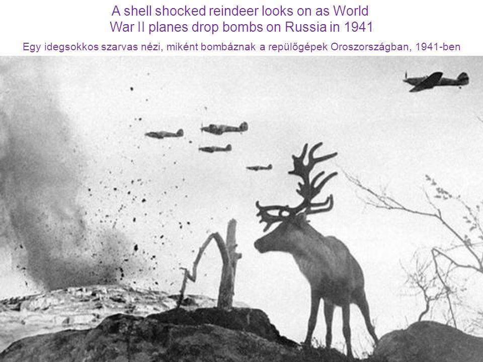 A shell shocked reindeer looks on as World War II planes drop bombs on Russia in 1941 Egy idegsokkos szarvas nézi, miként bombáznak a repülőgépek Oroszországban, 1941-ben