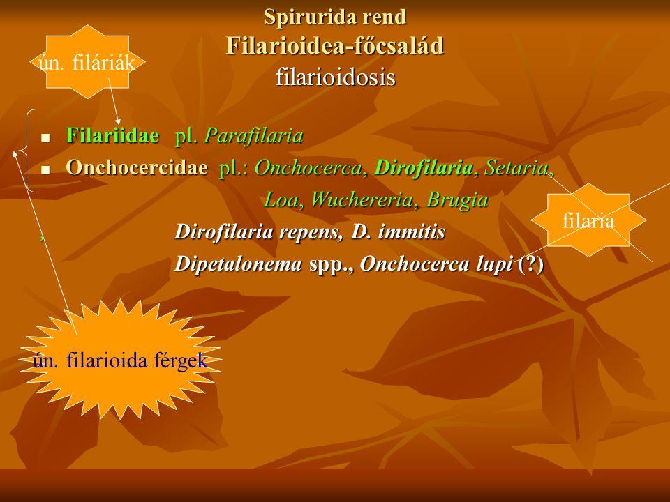 Spirurida rend Filarioidea-főcsalád filarioidosis  Filariidae pl. Parafilaria  Onchocercidae pl.: Onchocerca, Dirofilaria, Setaria, Loa, Wuchereria,