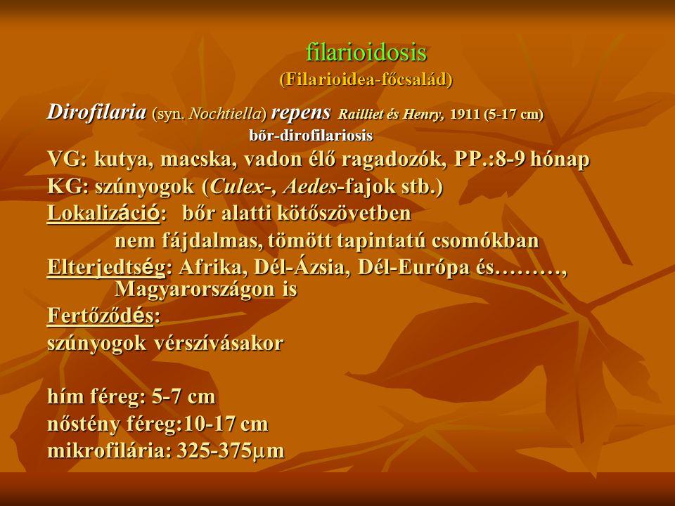 filarioidosis (Filarioidea-főcsalád) Dirofilaria (syn. Nochtiella) repens Railliet és Henry, 1911 (5-17 cm) bőr-dirofilariosis VG: kutya, macska, vado