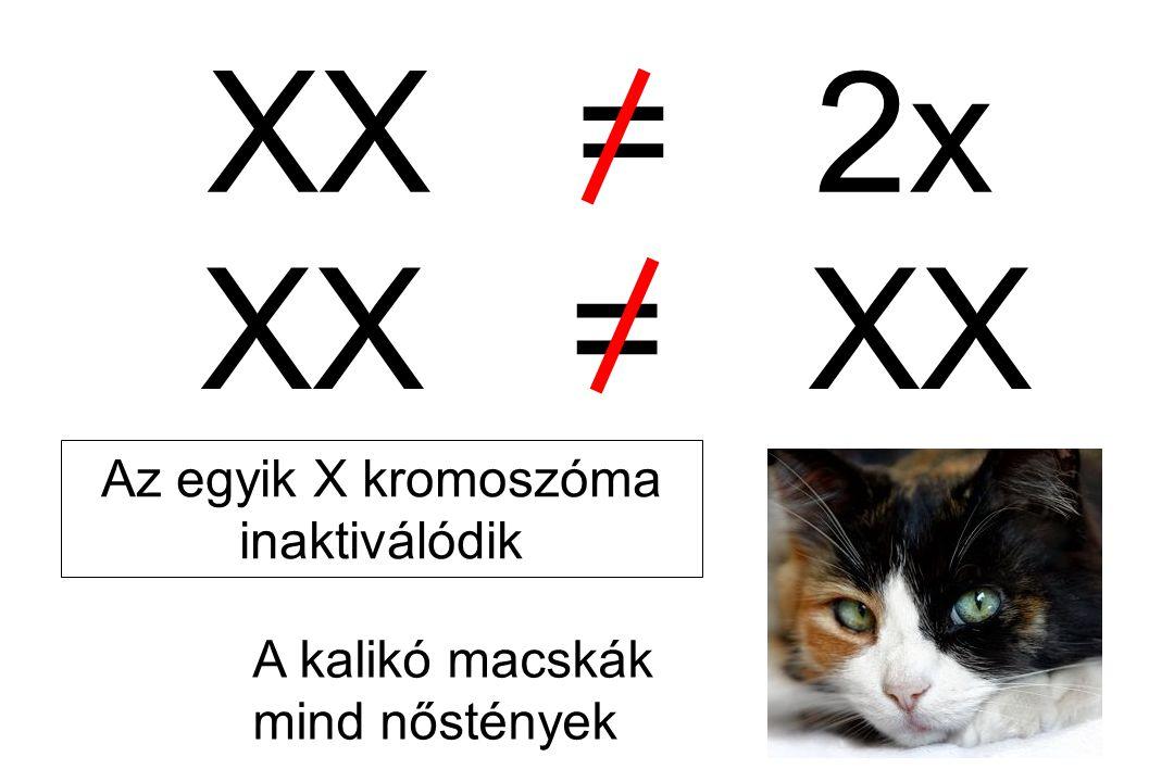 XX = XX A kalikó macskák mind nőstények XX = 2x Az egyik X kromoszóma inaktiválódik