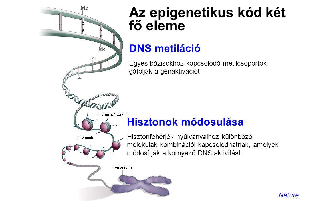 Az epigenetikus kód két fő eleme DNS metiláció Egyes bázisokhoz kapcsolódó metilcsoportok gátolják a génaktivációt Hisztonok módosulása Hisztonfehérjé