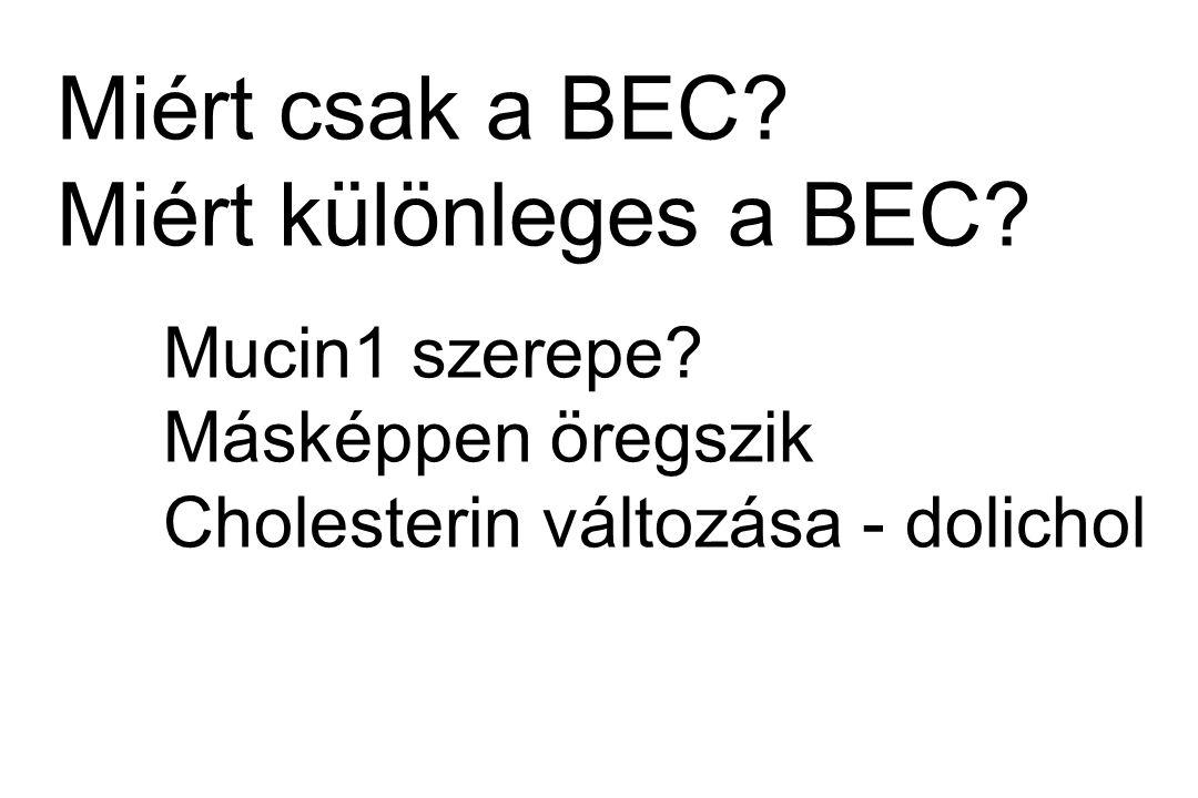 Miért csak a BEC? Miért különleges a BEC? Mucin1 szerepe? Másképpen öregszik Cholesterin változása - dolichol