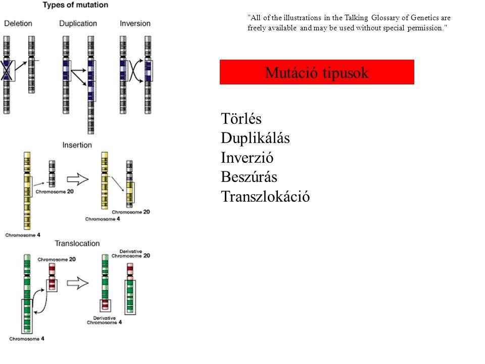 All of the illustrations in the Talking Glossary of Genetics are freely available and may be used without special permission. Mutáció tipusok Törlés Duplikálás Inverzió Beszúrás Transzlokáció