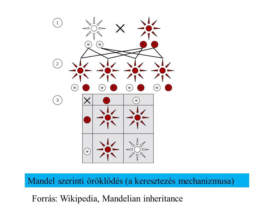 Mandel szerinti öröklődés (a keresztezés mechanizmusa) Forrás: Wikipedia, Mandelian inheritance