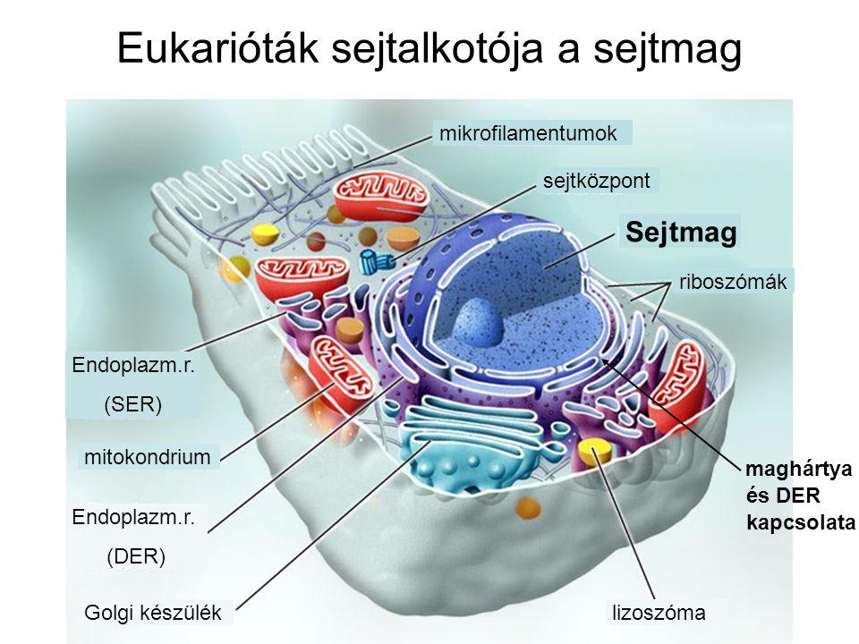 Eukarióták sejtalkotója a sejtmag riboszómák Sejtmag mikrofilamentumok sejtközpont lizoszóma Golgi készülék Endoplazm.r. (DER) mitokondrium Endoplazm.