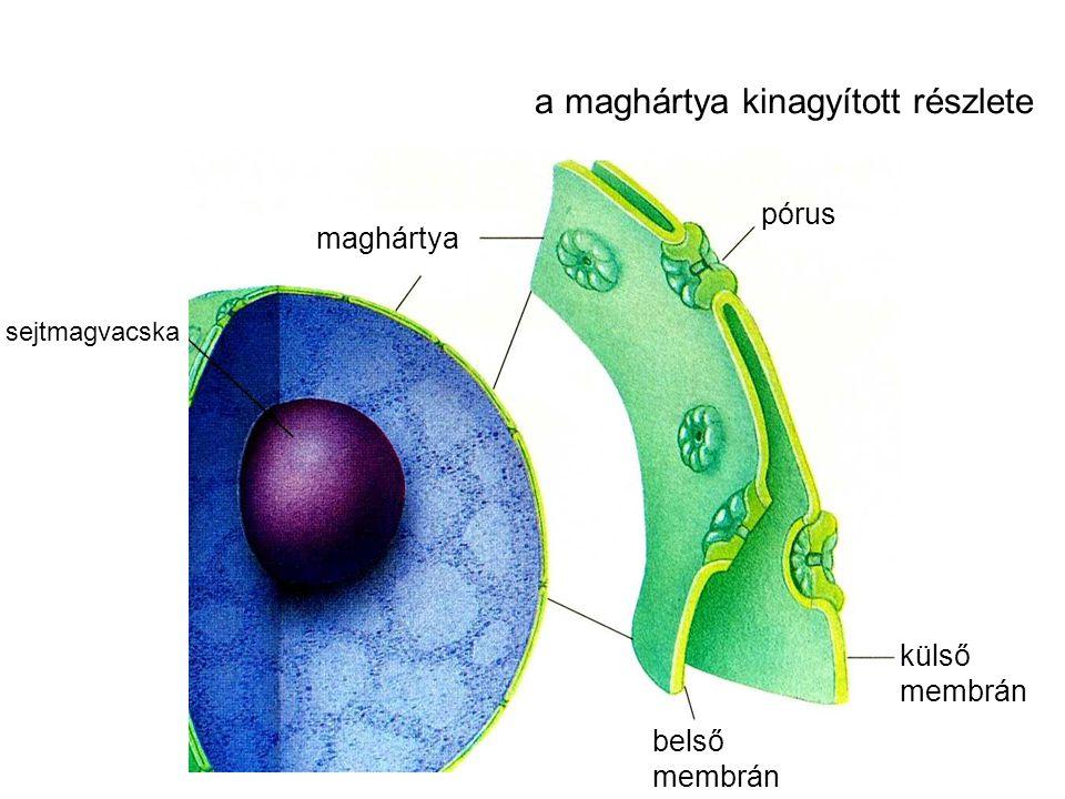 a maghártya kinagyított részlete sejtmagvacska maghártya pórus külső membrán belső membrán