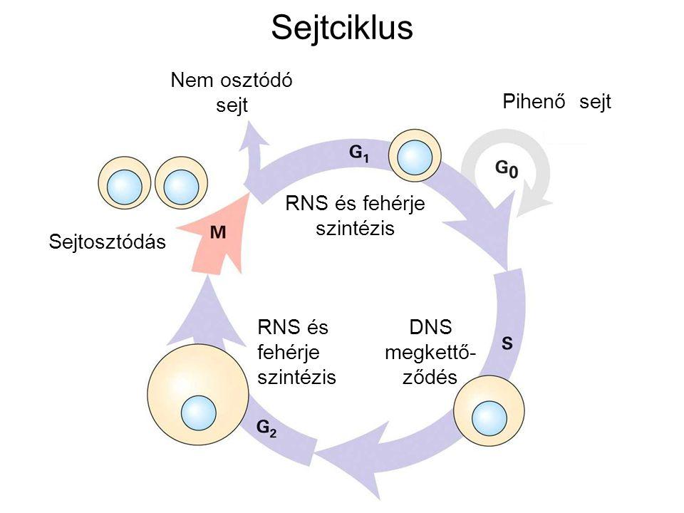 Sejtciklus Nem osztódó sejt Pihenő sejt RNS és fehérje szintézis DNS megkettő- ződés Sejtosztódás