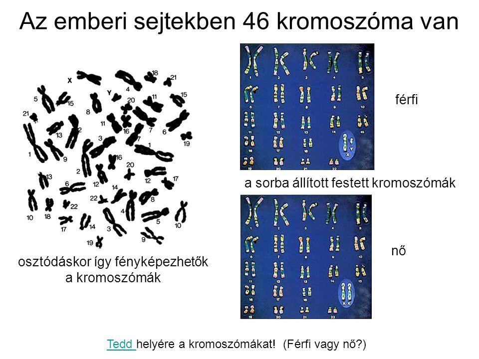 Az emberi sejtekben 46 kromoszóma van osztódáskor így fényképezhetők a kromoszómák a sorba állított festett kromoszómák férfi nő Tedd Tedd helyére a k