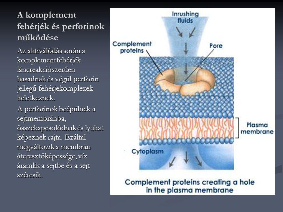 A komplement fehérjék és perforinok működése Az aktiválódás során a komplementfehérjék láncreakciószerűen hasadnak és végül perforin jellegű fehérjeko