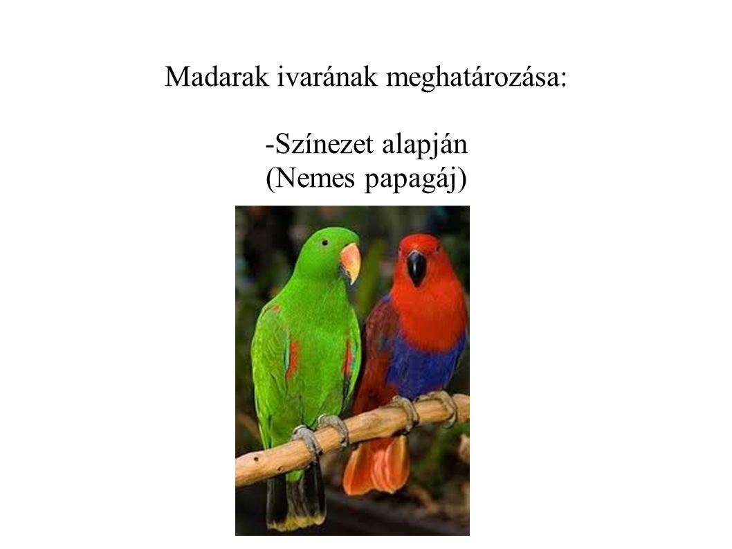Madarak ivarának meghatározása: -Színezet alapján (Nemes papagáj)