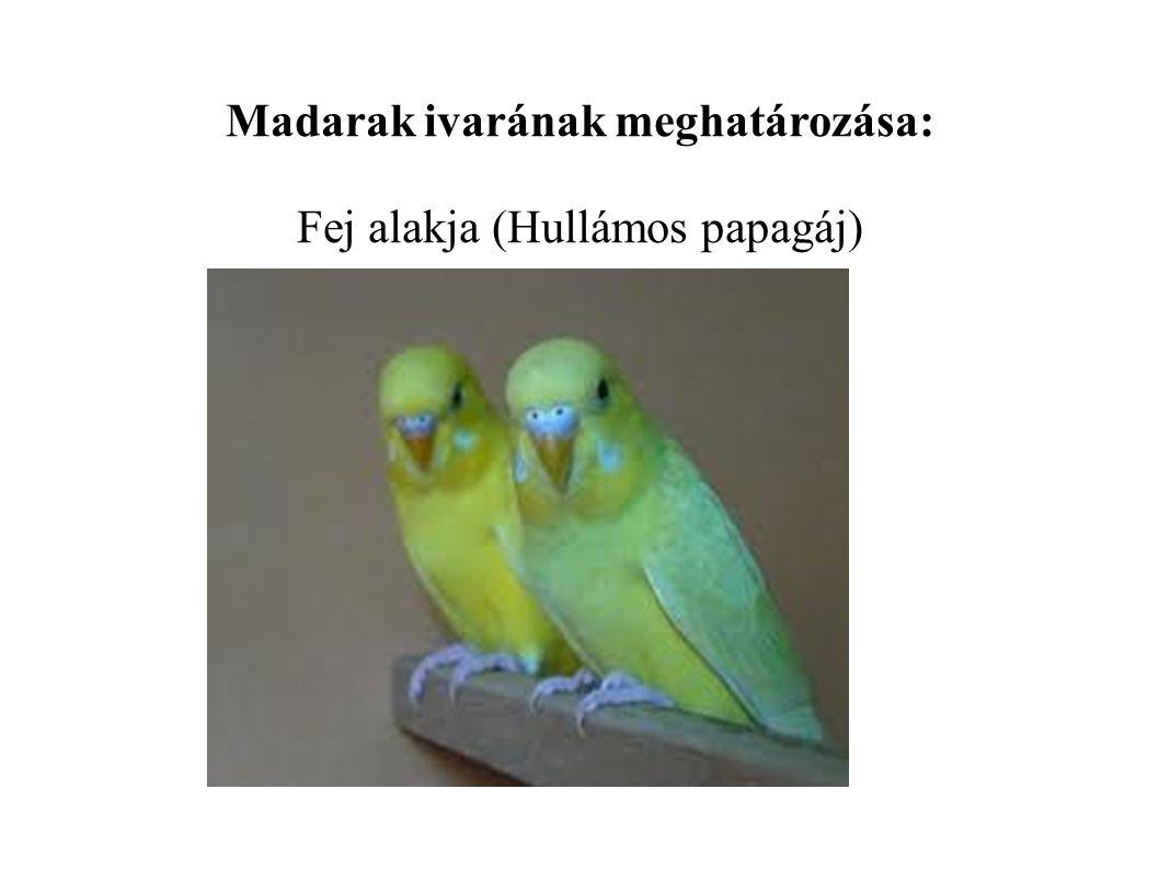 Madarak ivarának meghatározása: Fej alakja (Hullámos papagáj)