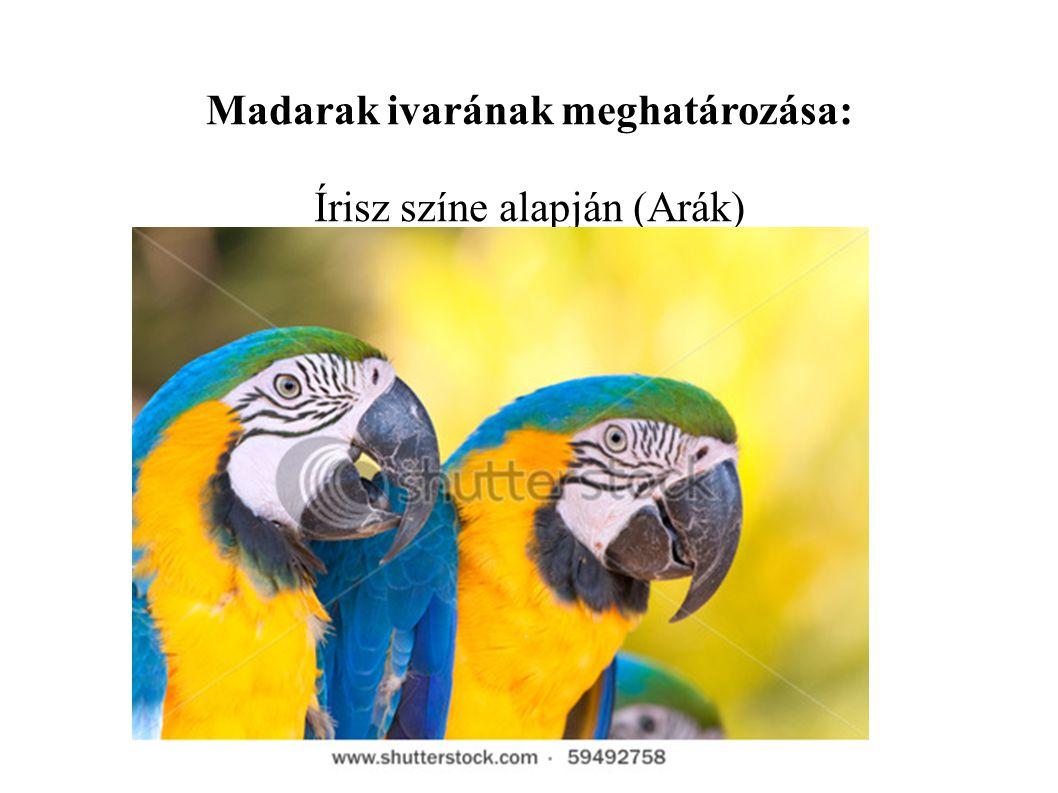 Madarak ivarának meghatározása: Írisz színe alapján (Arák)