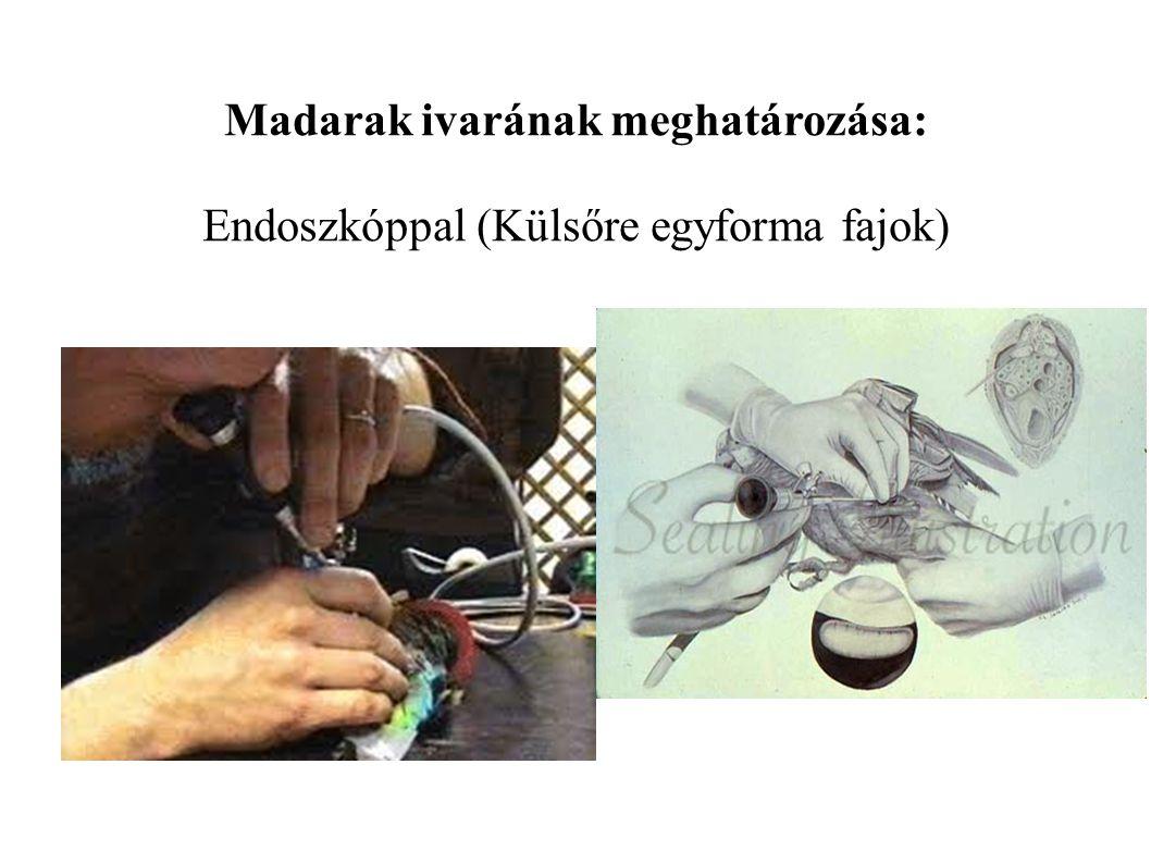 Madarak ivarának meghatározása: Endoszkóppal (Külsőre egyforma fajok)