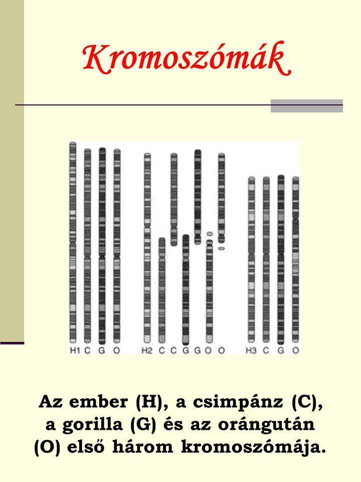 Kromoszómák Az ember (H), a csimpánz (C), a gorilla (G) és az orángután (O) első három kromoszómája.
