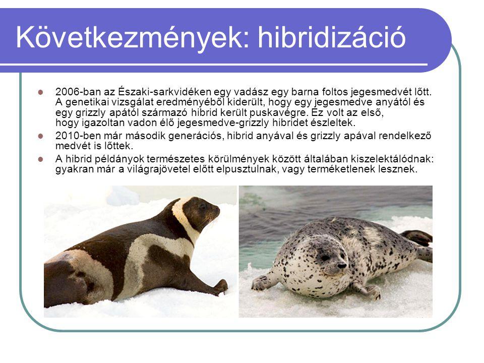 Következmények: hibridizáció  2006-ban az Északi-sarkvidéken egy vadász egy barna foltos jegesmedvét lőtt. A genetikai vizsgálat eredményéből kiderül