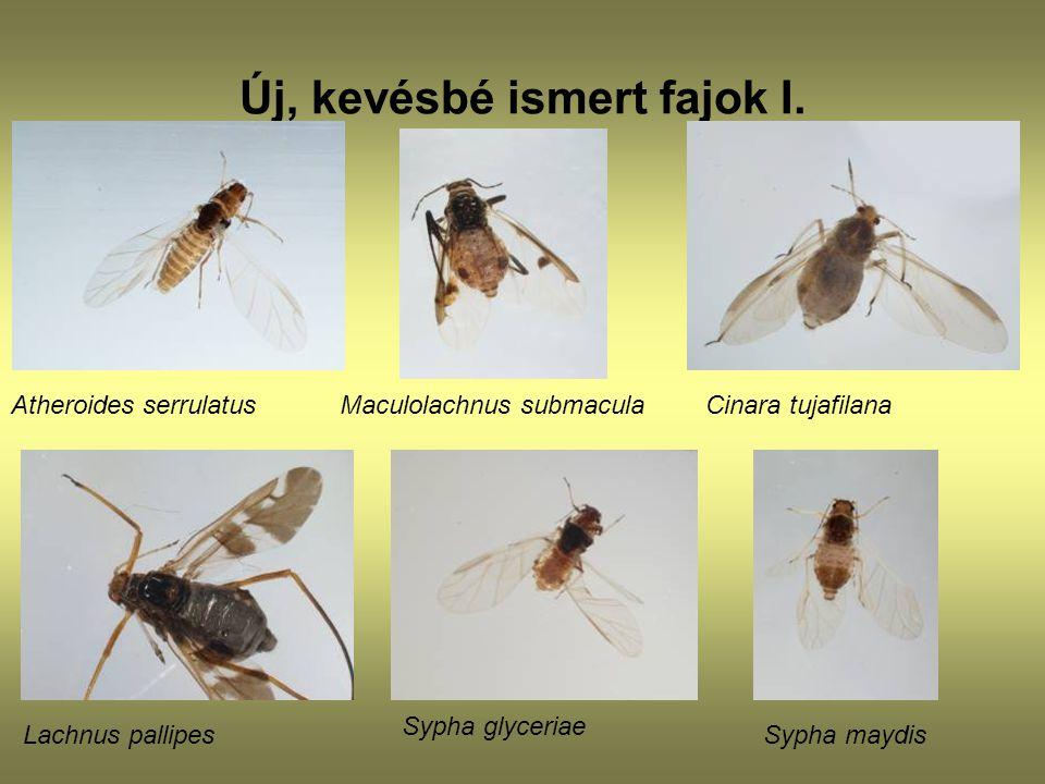 Új, kevésbé ismert fajok I. Atheroides serrulatusCinara tujafilana Maculolachnus submacula Lachnus pallipes Sypha glyceriae Sypha maydis