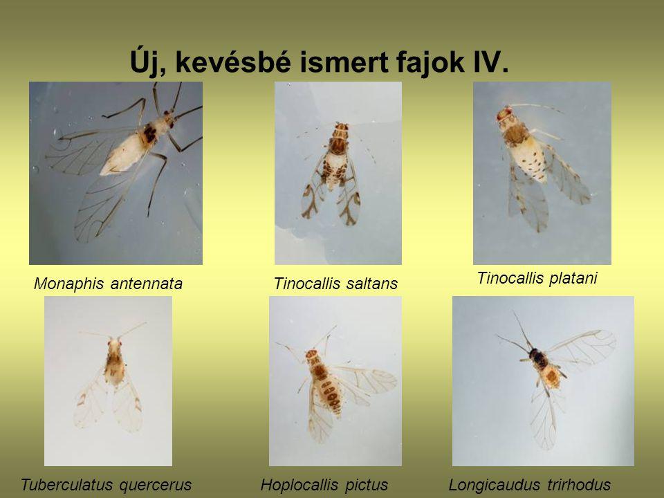 Új, kevésbé ismert fajok IV. Monaphis antennata Tinocallis saltans Tinocallis platani Tuberculatus quercerusHoplocallis pictusLongicaudus trirhodus