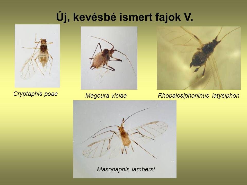 Új, kevésbé ismert fajok V. Cryptaphis poae Megoura viciae Rhopalosiphoninus latysiphon Masonaphis lambersi