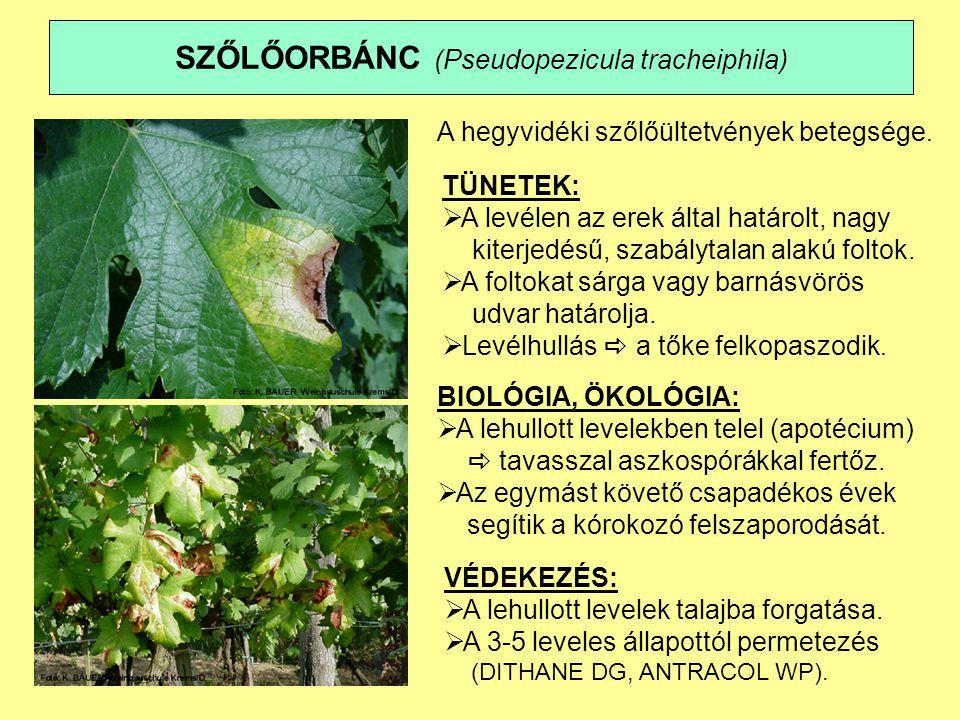 SZŐLŐORBÁNC (Pseudopezicula tracheiphila) A hegyvidéki szőlőültetvények betegsége.