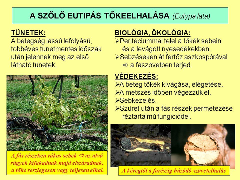 A SZŐLŐ EUTIPÁS TŐKEELHALÁSA (Eutypa lata) A fás részeken rákos sebek  az alvó rügyek kifakadnak majd elszáradnak, a tőke részlegesen vagy teljesen elhal.
