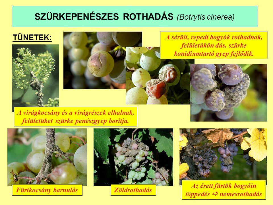 SZÜRKEPENÉSZES ROTHADÁS (Botrytis cinerea) TÜNETEK: A virágkocsány és a virágrészek elhalnak, felületüket szürke penészgyep borítja.