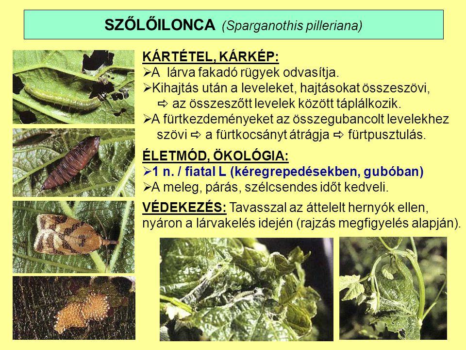SZŐLŐILONCA (Sparganothis pilleriana) KÁRTÉTEL, KÁRKÉP:  A lárva fakadó rügyek odvasítja.