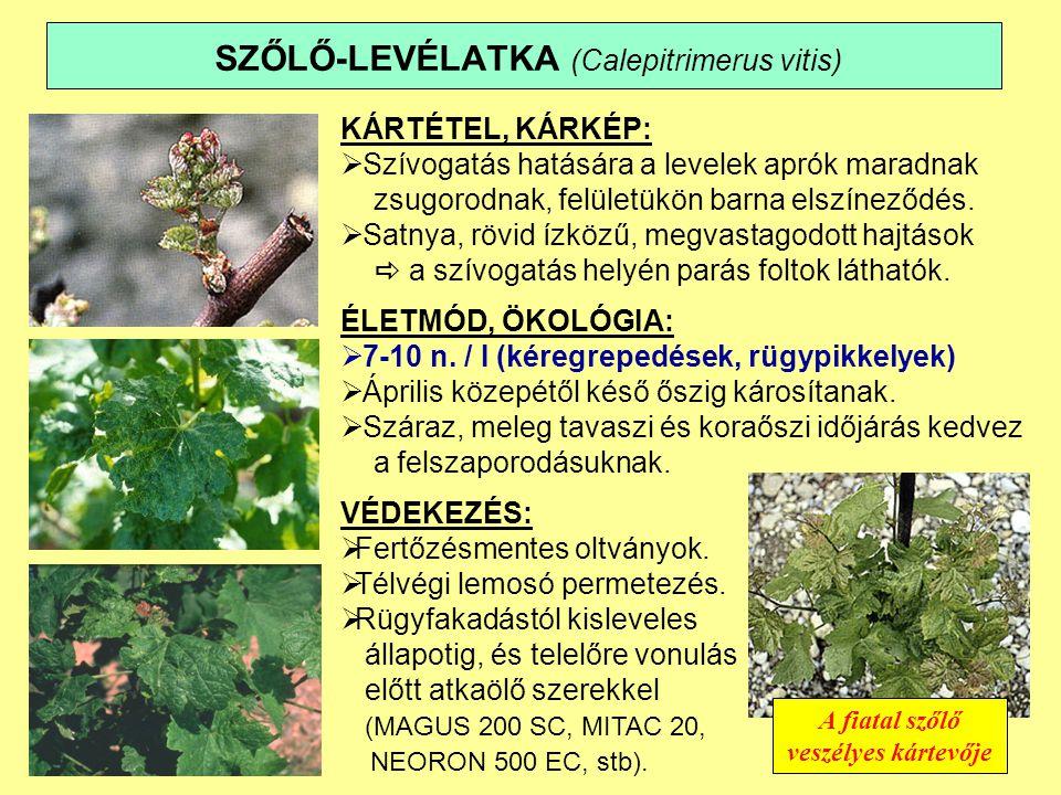 SZŐLŐ-LEVÉLATKA (Calepitrimerus vitis) KÁRTÉTEL, KÁRKÉP:  Szívogatás hatására a levelek aprók maradnak zsugorodnak, felületükön barna elszíneződés.