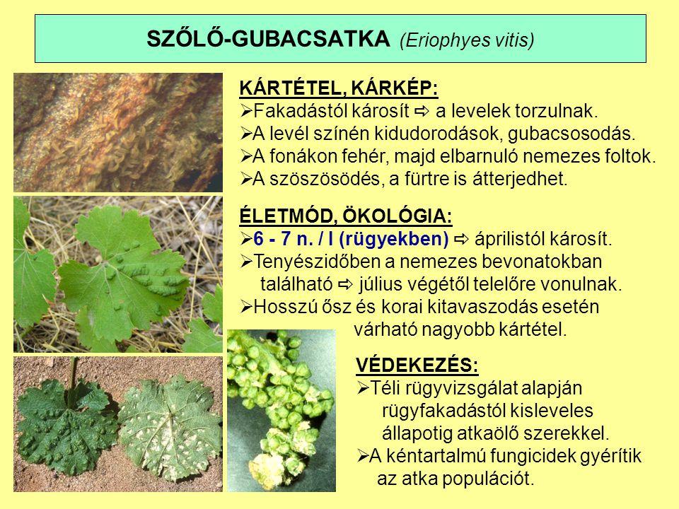 SZŐLŐ-GUBACSATKA (Eriophyes vitis) KÁRTÉTEL, KÁRKÉP:  Fakadástól károsít  a levelek torzulnak.