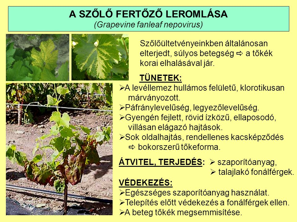 A SZŐLŐ LEVÉLSODRÓDÁSA (Grapevine leafroll associated closteroviruses) A szőlő legelterjedtebb és legsúlyosabb vírusbetegsége.