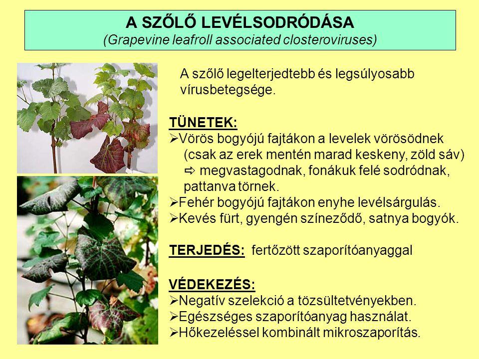 A SZŐLŐ KÁRTEVŐI  Szőlő gyökértetű (Viteus vitifolii)  Kendermagbogár (Peritelus familiaris)  Tarka szőlőmoly (Lobesia botrana)  Nyerges szőlőmoly (Eupoecilia ambiguella)  Szőlőilonca (Sparganothis pilleriana )  Szőlő – levélatka (Calepitrimerus vitis)  Szőlő – gubacsatka (Eriophyes vitis)  Társas redősszárnyú darazsak (Vespaidae)  Madarak (seregély, házi veréb)