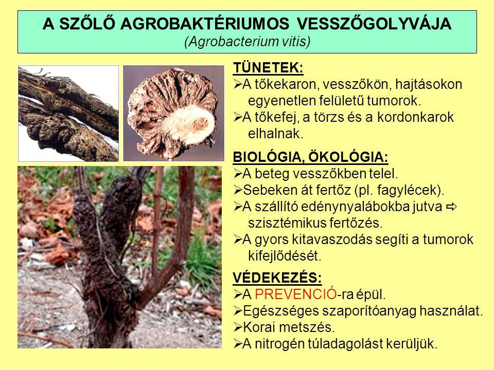 A SZŐLŐ AGROBAKTÉRIUMOS VESSZŐGOLYVÁJA (Agrobacterium vitis) TÜNETEK:  A tőkekaron, vesszőkön, hajtásokon egyenetlen felületű tumorok.