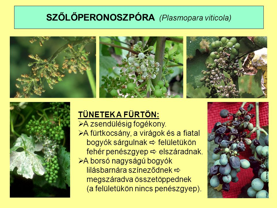 SZŐLŐPERONOSZPÓRA (Plasmopara viticola) TÜNETEK A FÜRTÖN:  A zsendülésig fogékony.