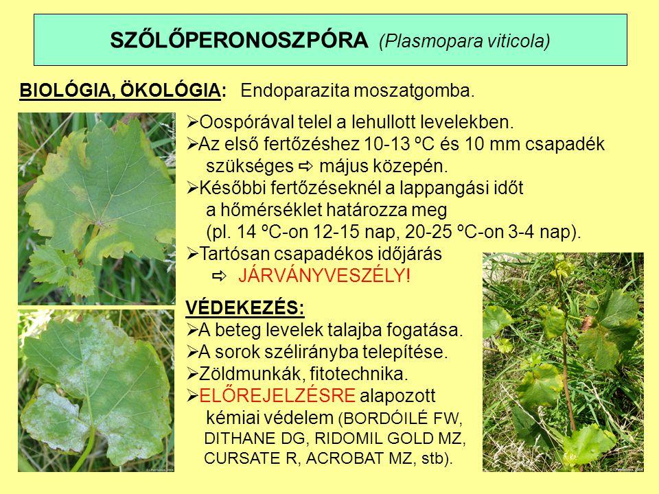 SZŐLŐLISZTHARMAT (Uncinula necator) TÜNETEK: A levél színén, a hajtáson és a bogyókon szürkésfehér bevonat (epifita micélium a konidiumokkal) Súlyos fertőzés Primer tünet Sérves bogyók