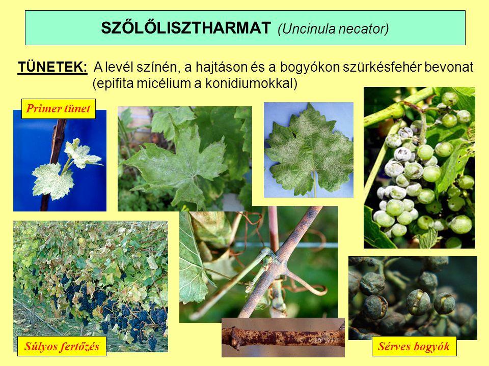 SZŐLŐLISZTHARMAT (Uncinula necator) BIOLÓGIA, ÖKOLÓGIA:  A fertőzött rügyekben micéliummal telel  primer tünet a kis hajtáson.